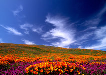 Poppies and Clouds, CA
