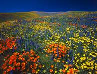 Tehachapi Wildflowers, CA